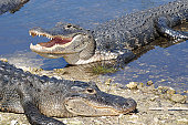 Basking American alligators,
