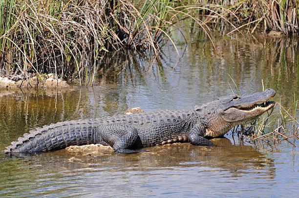 Alligator mississippiensis, Everglades National Park, Florida stock photo