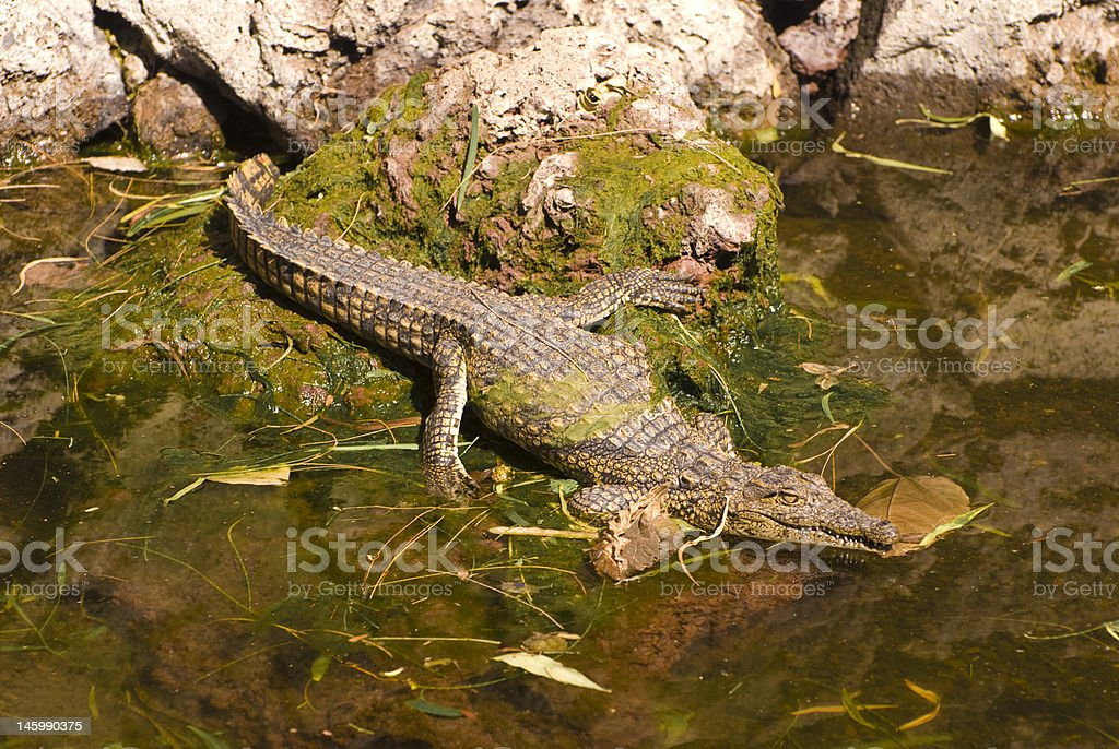 Alligator Mississippiensis in Water stock photo