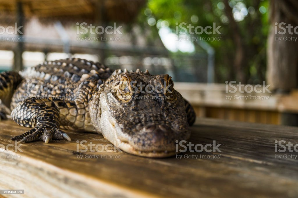 Alligator mississippiensis stock photo