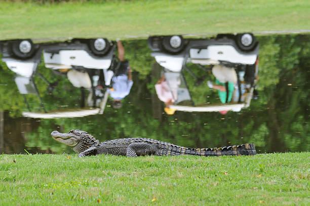 Alligator next to golf pond stock photo