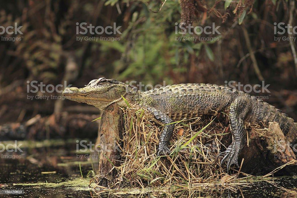 Alligator on Tree Stump - Okefenokee Swamp, Georgia stock photo
