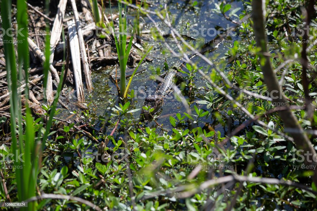 Alligator stock photo