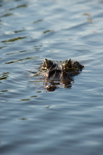 Small infant crocodilles in a small pool of water, at a park in Guayaquil, Guayas province, Ecuador, South America, on an overcast morning