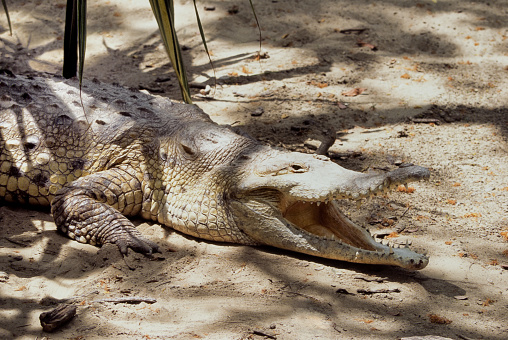 close view of a brazilian pap yellow alligator, or Jacare do papo amarelo. High quality photo