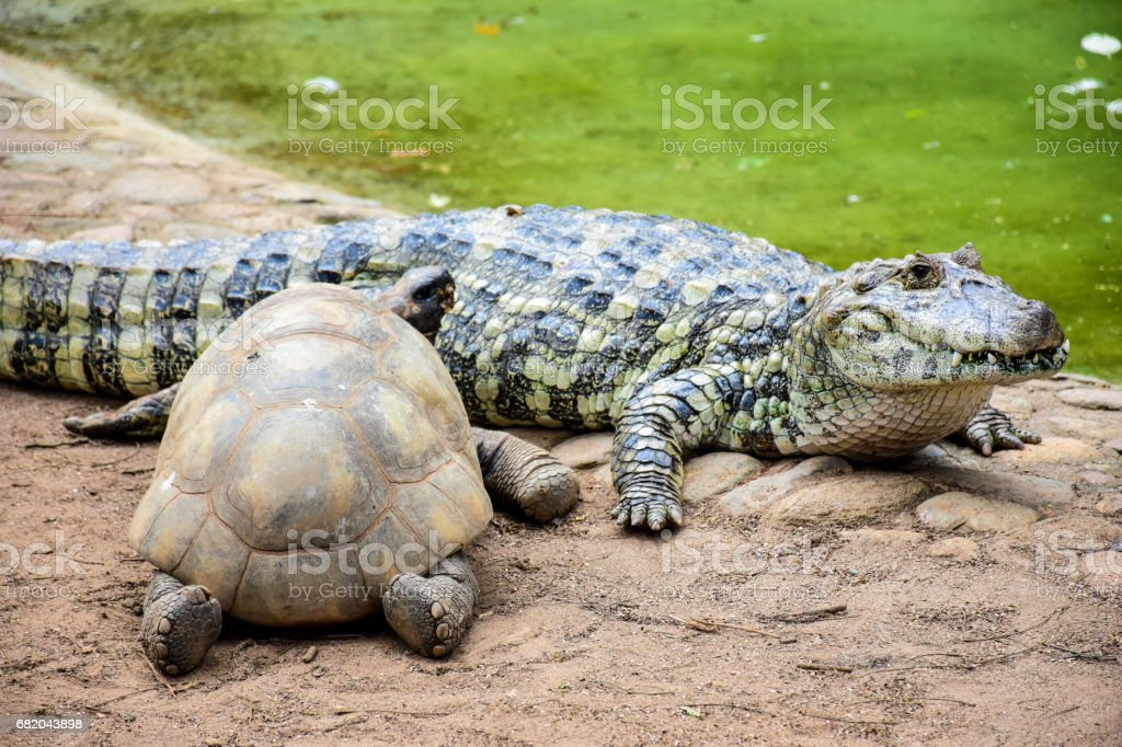 Alligator stock photo