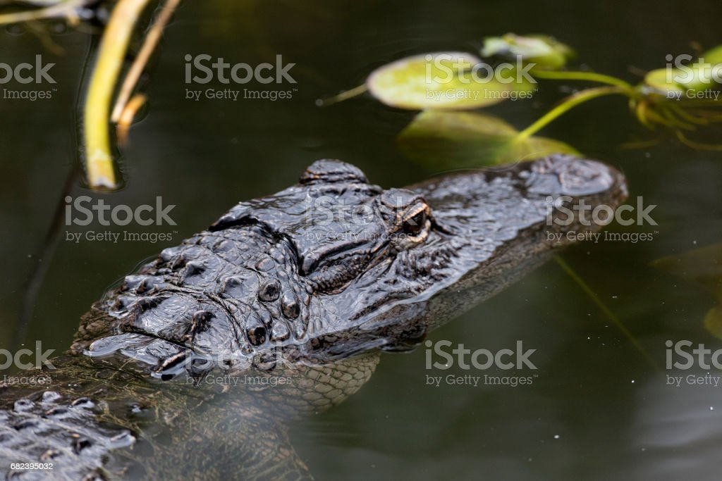 Alligator royalty-free stock photo