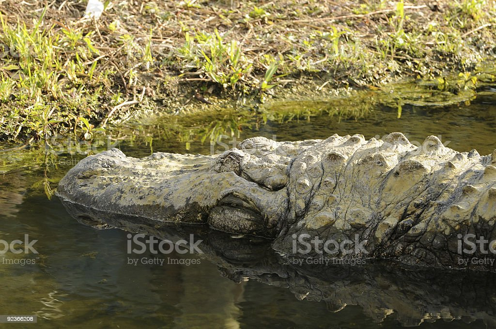 Alligator royalty-free stock photo