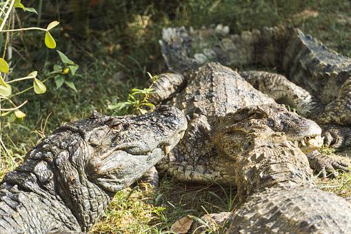 Yellow Chat Alligator Outdoors in Rio de Janeiro Brazil.
