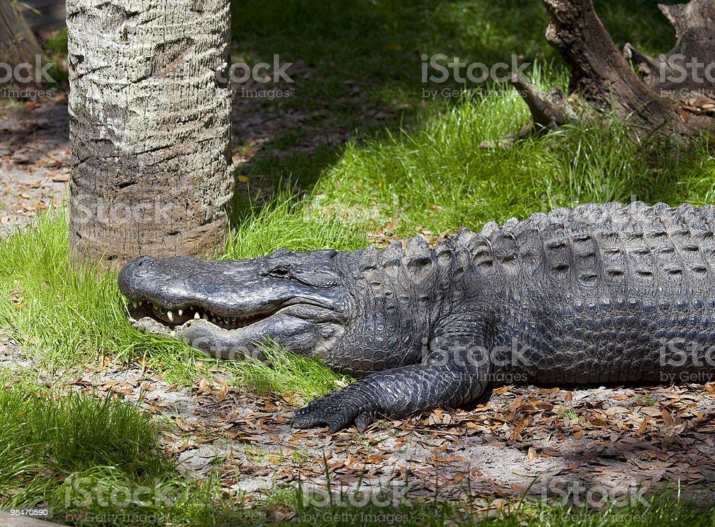 Alligatore a riposo foto stock royalty-free