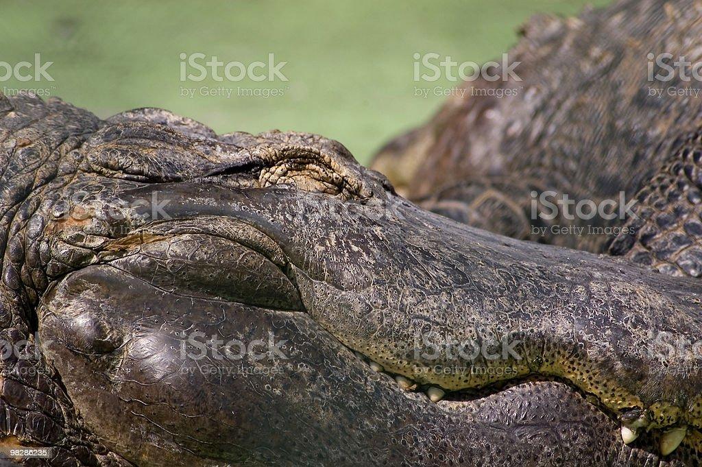 Alligator sleeping  in Everglades National Park royalty-free stock photo