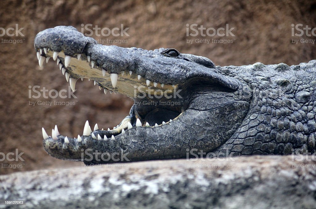 Alligator Smile royalty-free stock photo