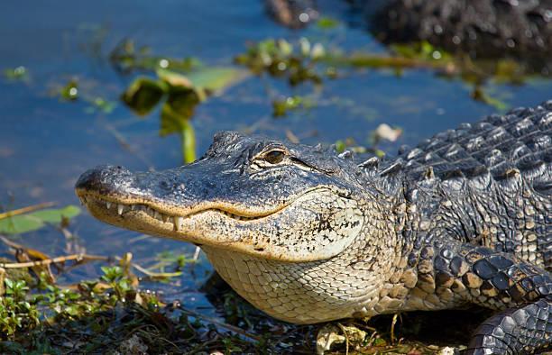 Alligator Smiley - Photo
