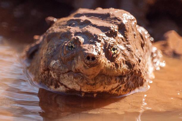 Alligator snapping turtle portrait stock photo