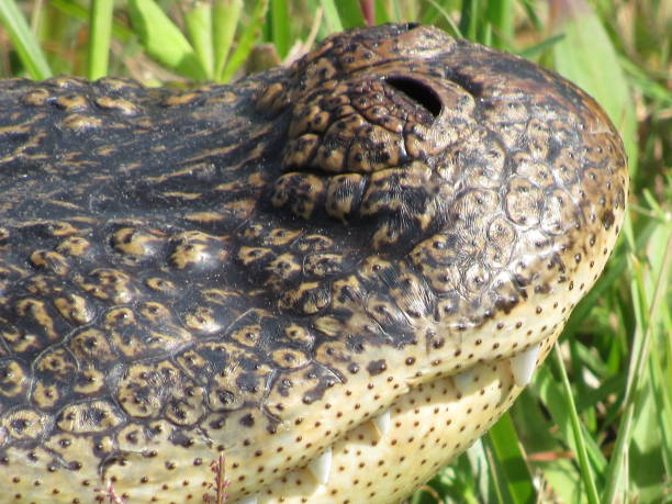 alligator snout - dianna dann narciso stock pictures, royalty-free photos & images
