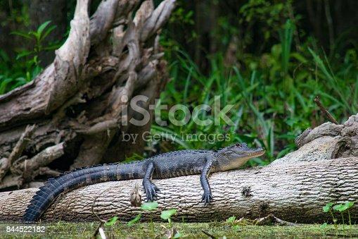 An alligator warms itself on a log along a riverbank.
