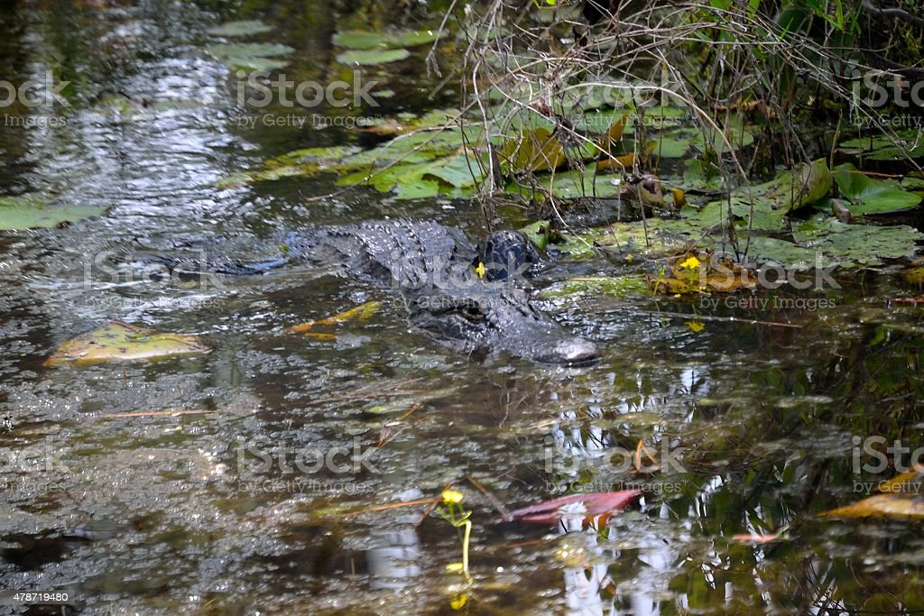 Alligator swimming right at you! stock photo