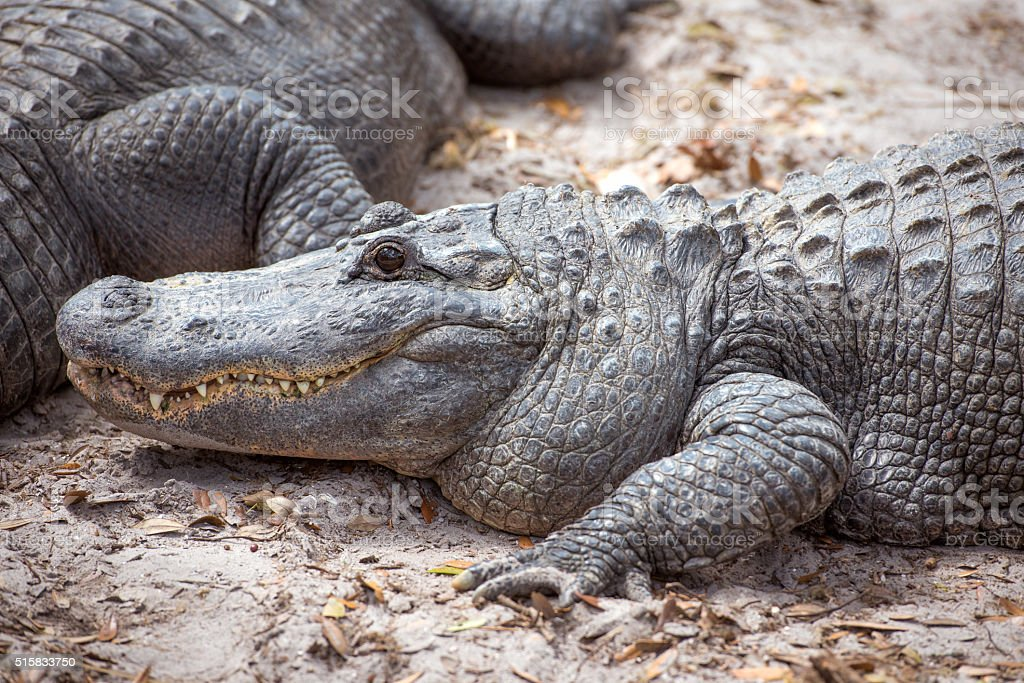 Alligator up close stock photo