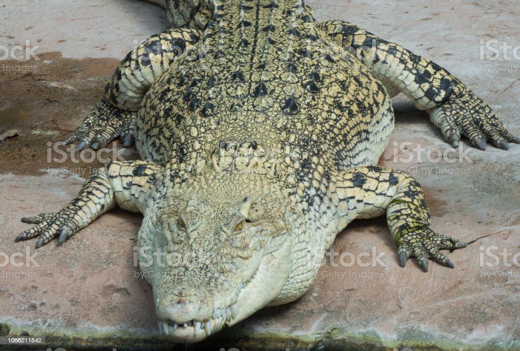 Alligator von vorne mit teilweise geöffnetem Mund stock photo