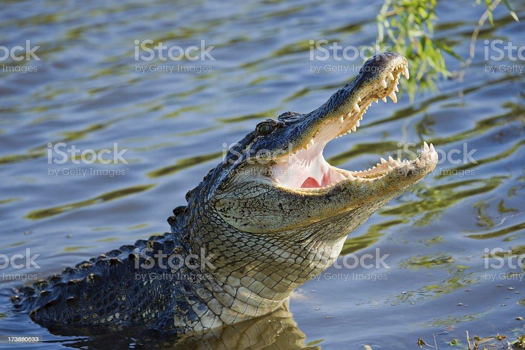 Alligator Yawning - Florida royalty-free stock photo
