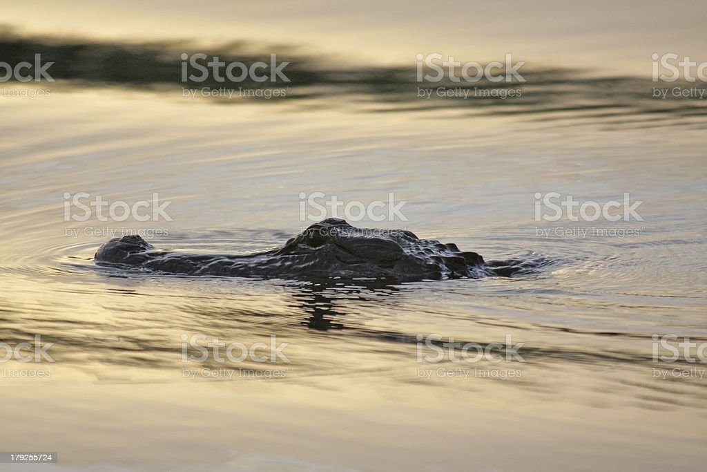 Alligator-3 stock photo