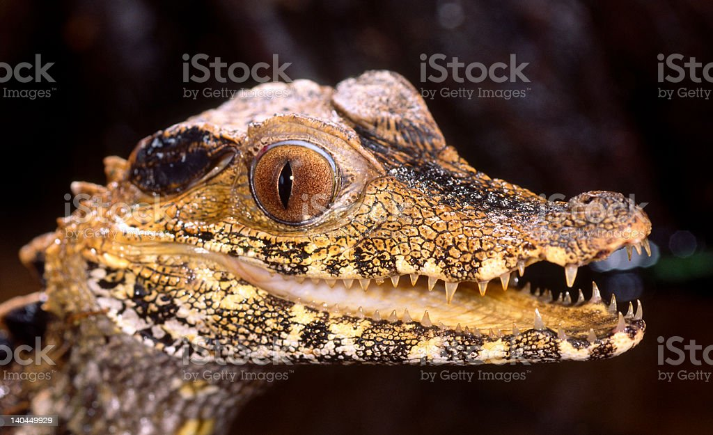 Alligator-Dwarf caiman royalty-free stock photo