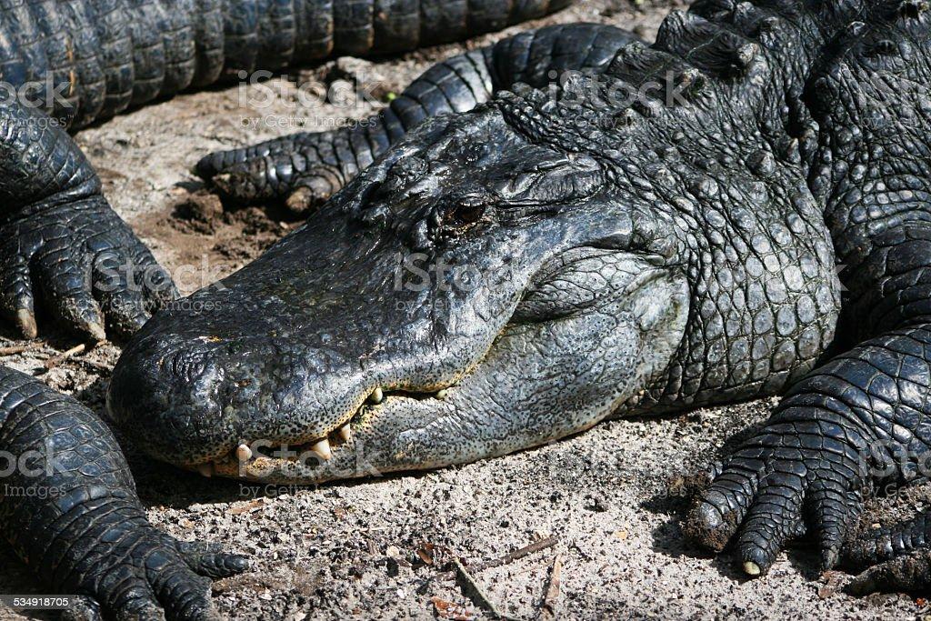 Alligatoren im Sand – Foto
