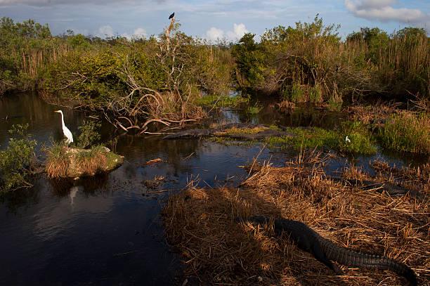 Alligators and Birds in the Everglades, Florida stock photo