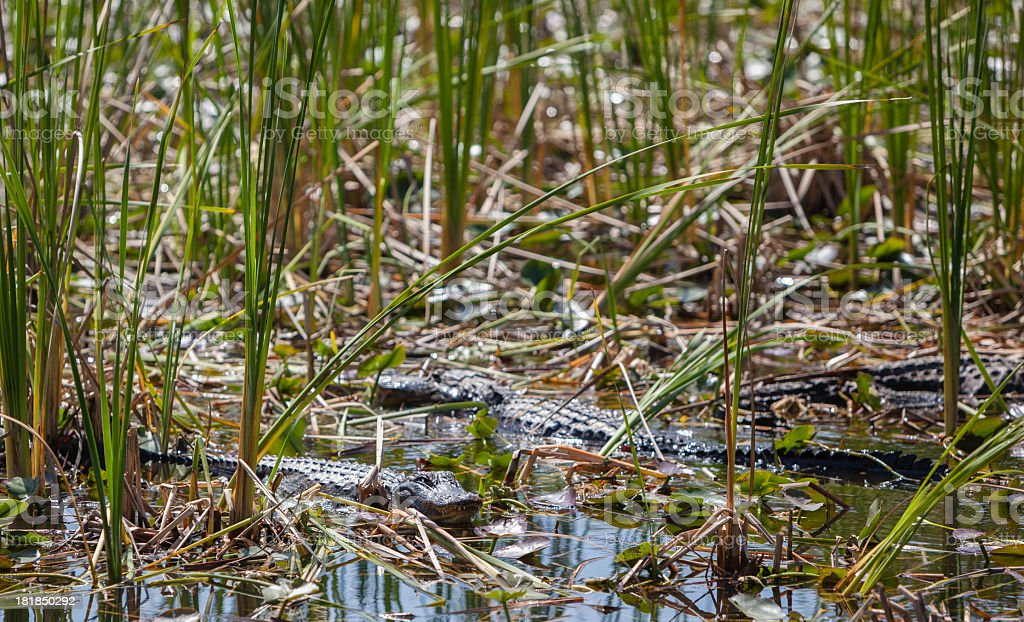 Alligators in the Everglades National Park royalty-free stock photo