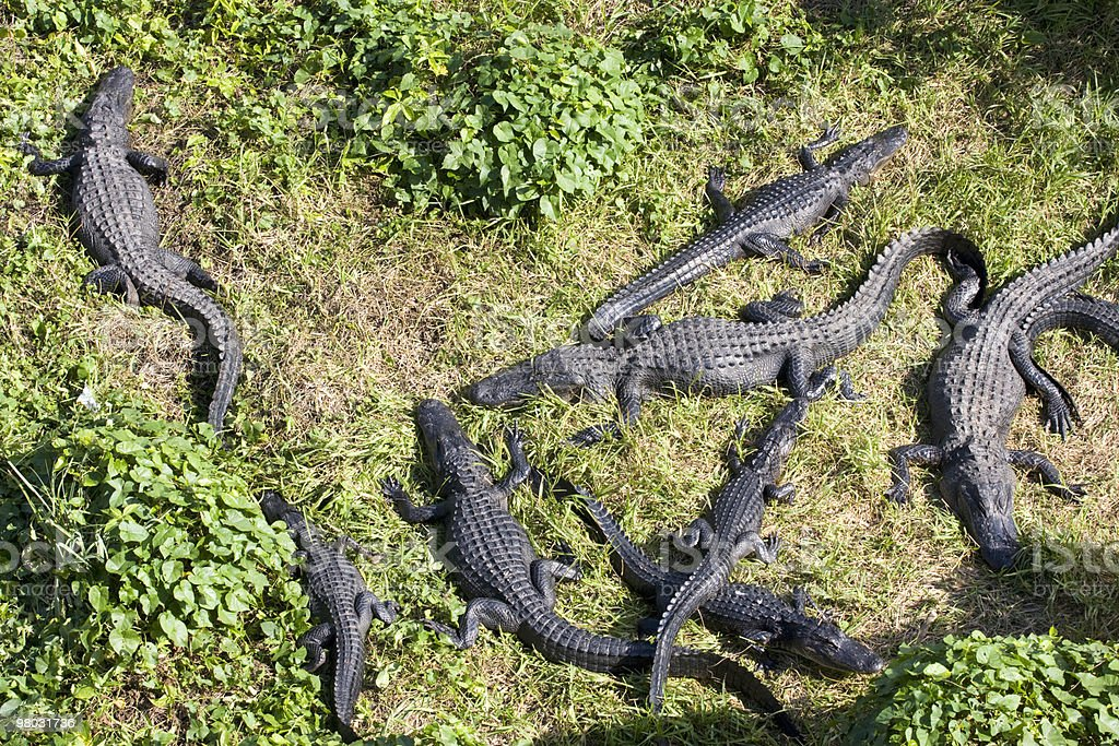 Alligators in the swamp, aerial view royalty-free stock photo