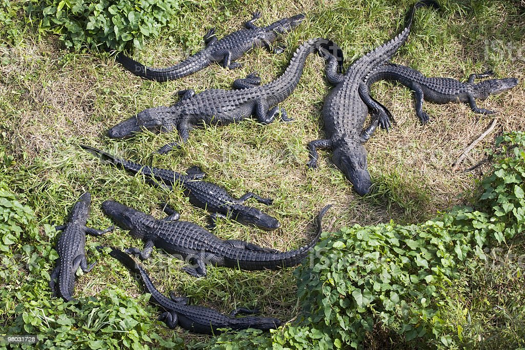 Alligators in the wild, aerial view royalty-free stock photo