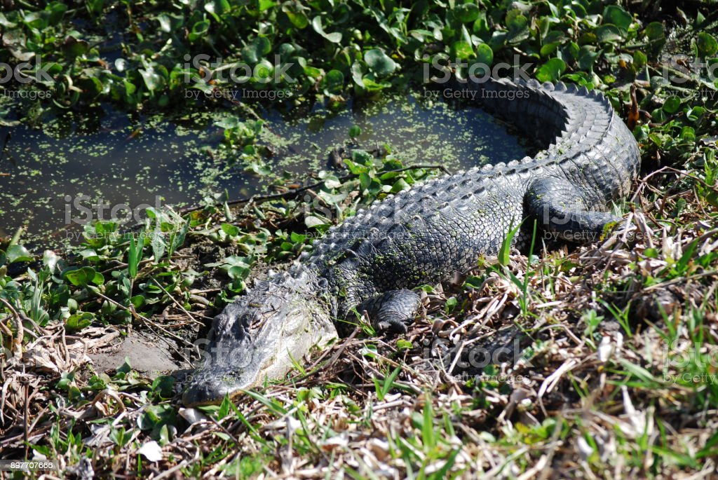 Alligators laying in the sun stock photo
