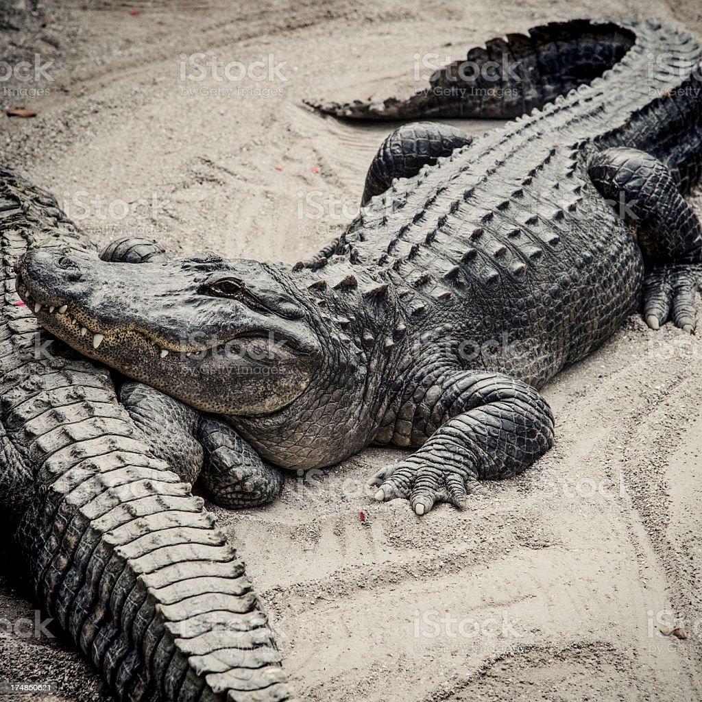Alligators royalty-free stock photo