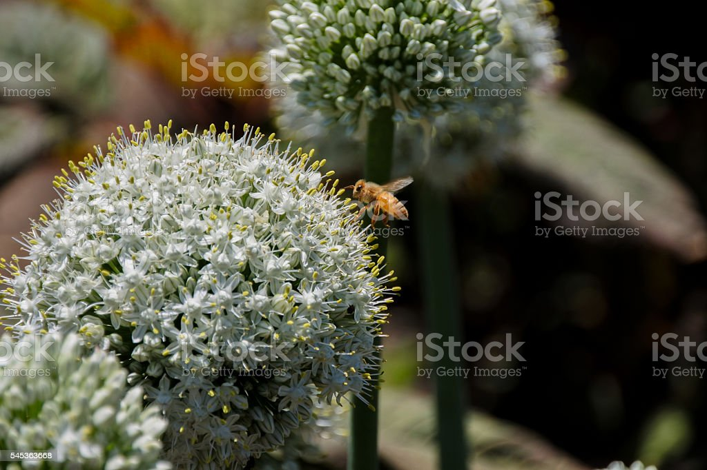 Allium Bulbs Mount Everest (Allium stipitatum)​​​ foto
