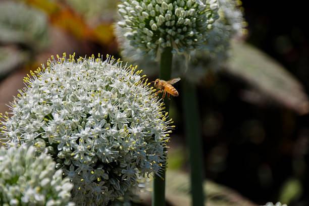 Allium Bulbs Mount Everest (Allium stipitatum) foto