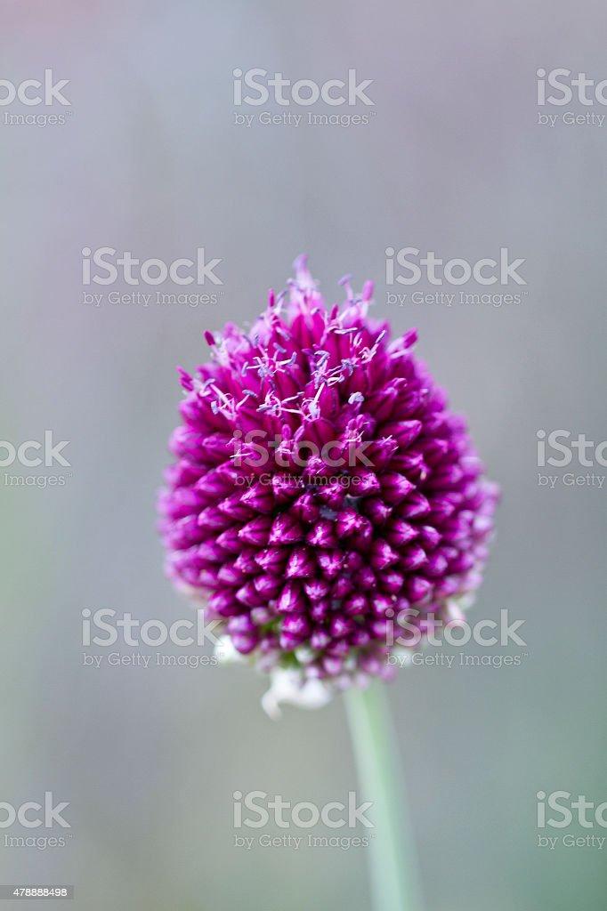 Allium Bulbs 'Sphaerocephalon' stock photo
