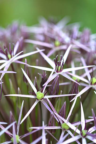 Allium 'Christophe' stock photo