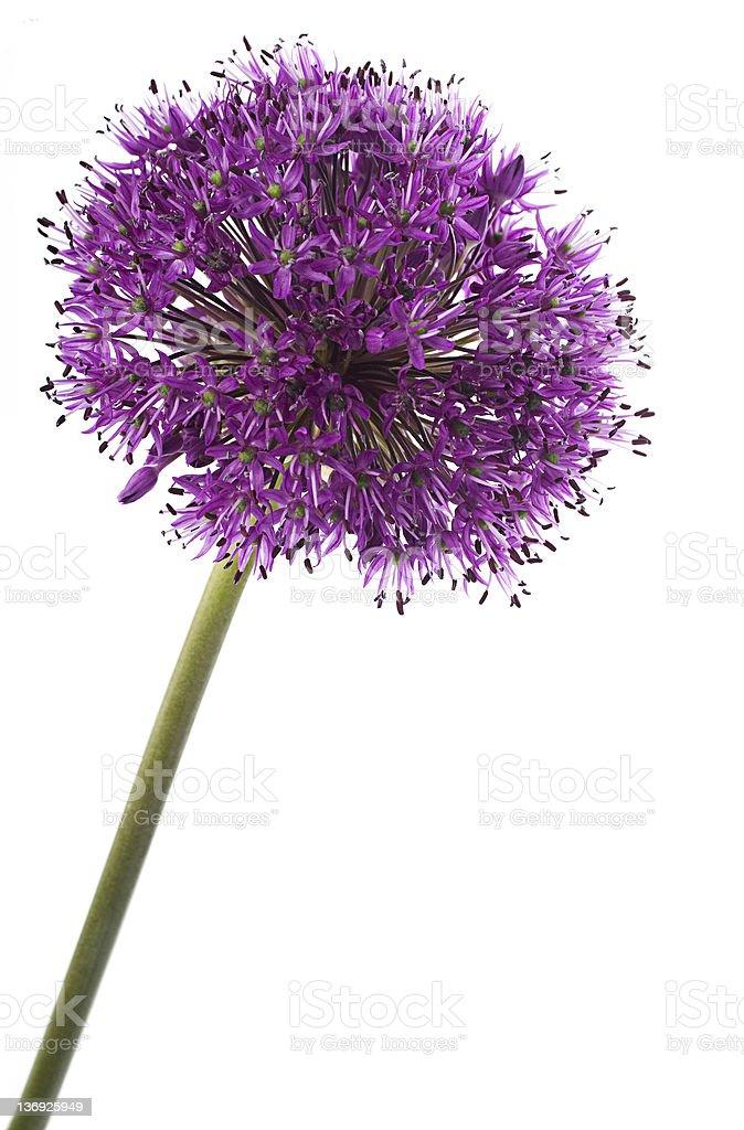 Allium Detail stock photo