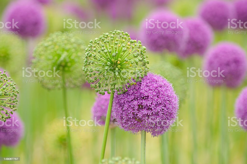 Allium Flower Background stock photo