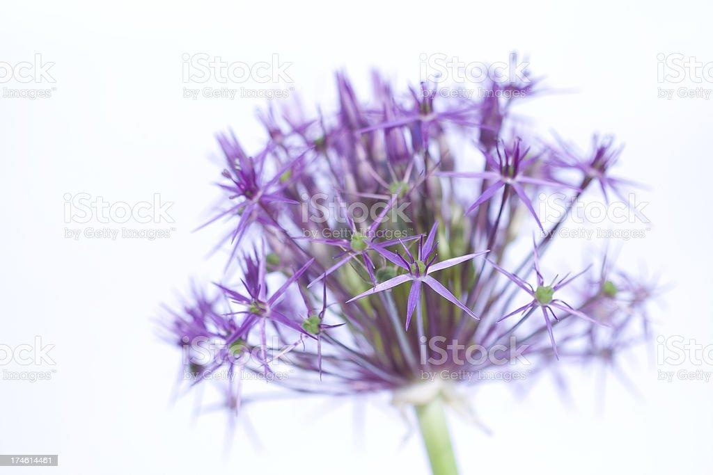 Allium flower close-up royalty-free stock photo
