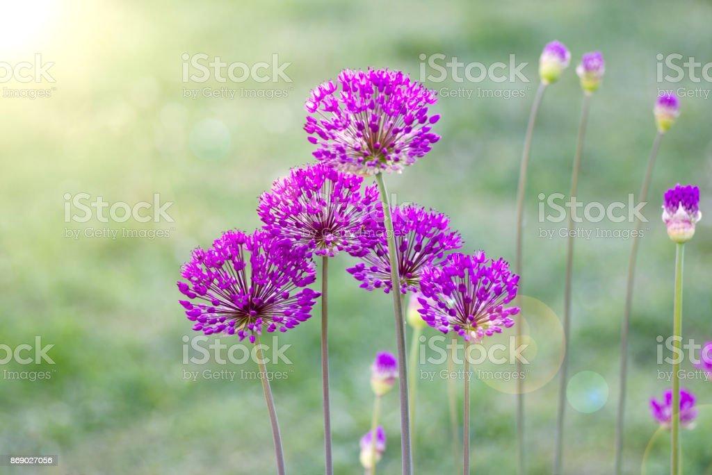 Allium Flower Macro foto