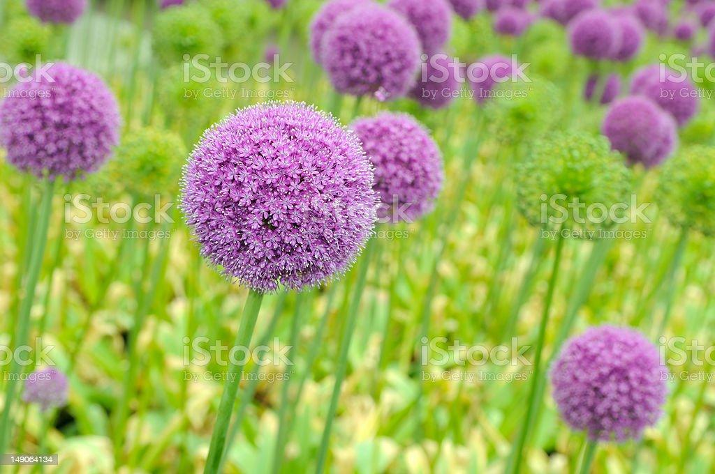 Allium Flower royalty-free stock photo
