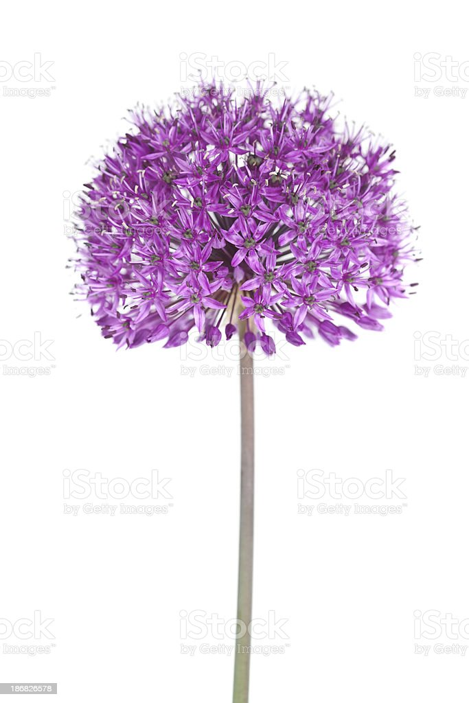 Allium Flower​​​ foto