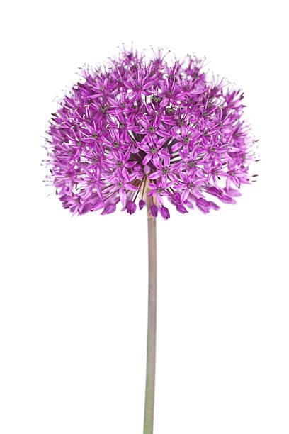 Allium Flower foto