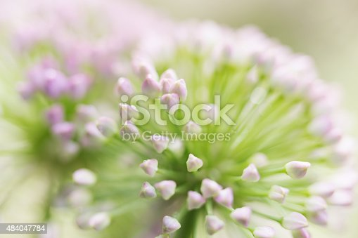 Allium, Onion Flower, in a garden.