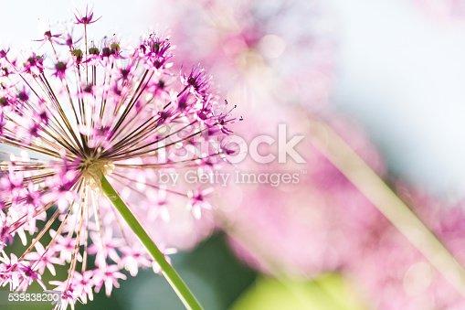 Close-up on an allium flower.