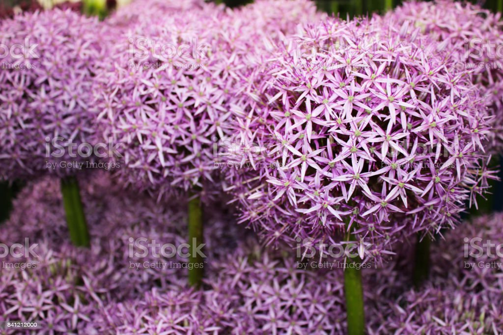 Allium Flower (ambassadeur)​​​ foto
