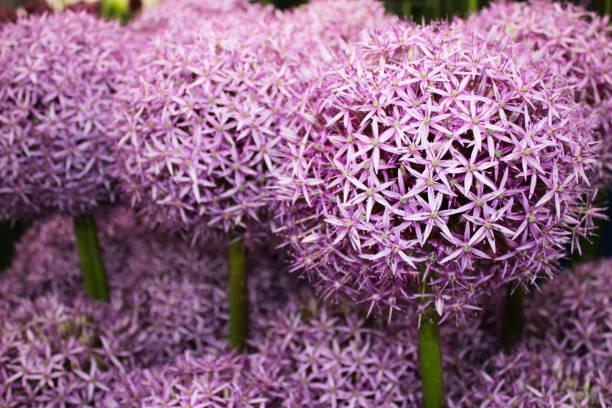 Allium Flower (ambassadeur) foto