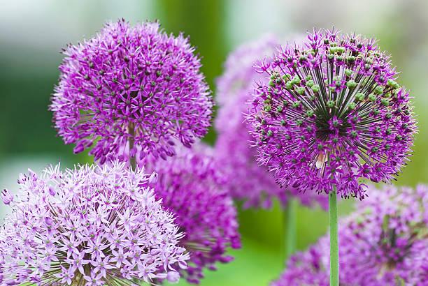 Allium flower - VII foto