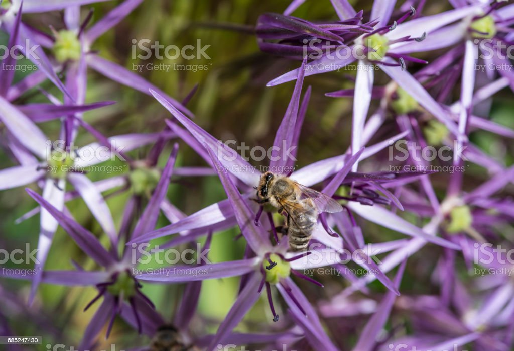 allium flower with bee foto de stock royalty-free